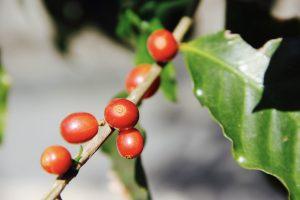 Café cereja indica que o fruto está no ponto de colheita